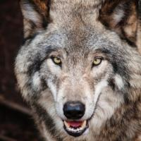 Natura naturans (2/3) - Take a wolf