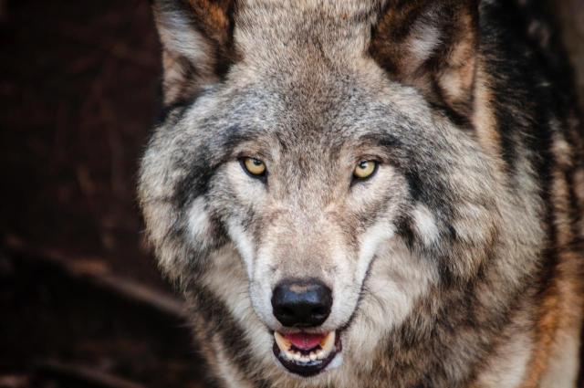 brown-wolf